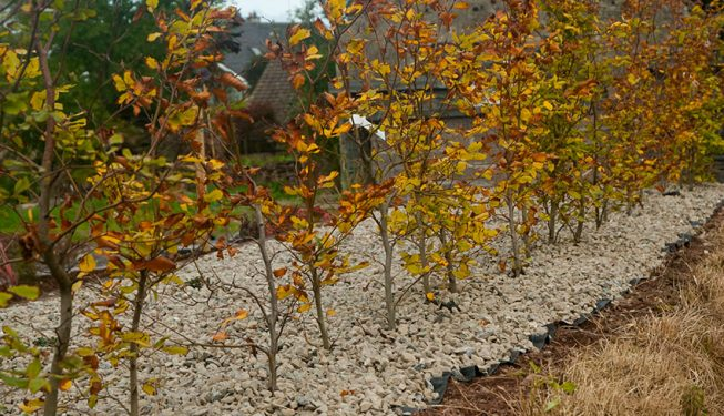 Beech Planting in Stone Bed 6