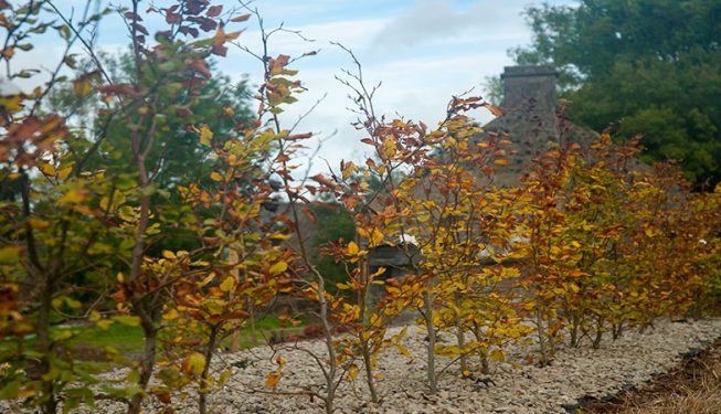 Beech Planting in Stone Bed 1
