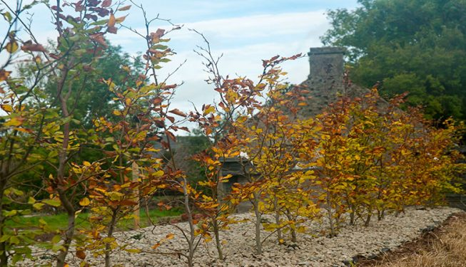Beech Planting in Stone Bed 2